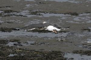 Gaviota sombría/Lesser black-backed gull Larus fuscus