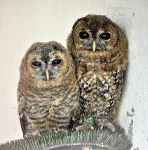 Cárabo común/Tawny owl Strix aluco