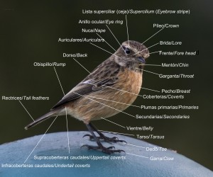 Morfología_aves_3_ma