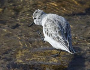 Correlimos tridáctilo/Sanderling Calidris alba