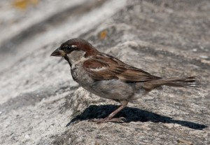 Gorrión común/House sparrow Passer domesticus
