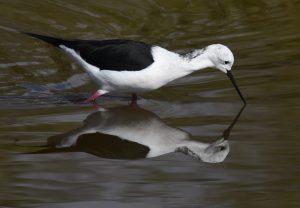 Cigüeñuela común/Black-winged stilt Himantopus himantopus