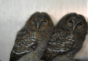 Cárabo/Tawny owl Strix aluco