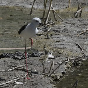 Cigüeñuela/Black-winged stilt Himantopus himantopus