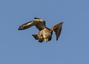Cernícalo vulgar/Common kestrel Falco tinnunculus