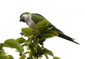 Cotorra argentina/Monk parakeet Myiopsitta monachus