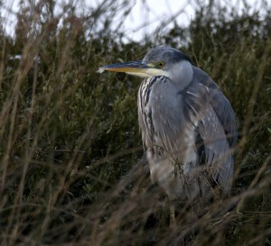 Garza real/Grey heron Ardea cinerea