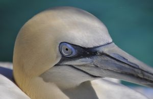 Alcatraz atlántico/Northern gannet Morus bassanus
