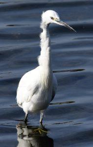 Garceta común/Little egret Egretta garzetta