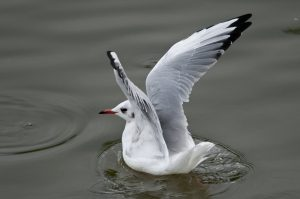 Gaviota reidora/Black-headed gull Chroicocephalus ridibundus