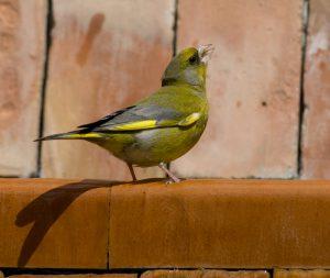 Verderón común/European greenfinch Chloris chloris